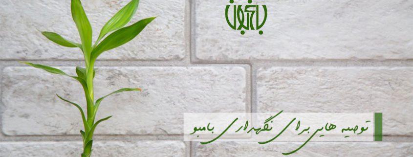 6 توصیه مهم برای نگهداری بامبو lucky bamboo plant banner1 845x321