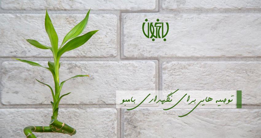 6 توصیه مهم برای نگهداری بامبو lucky bamboo plant banner1  وبلاگ lucky bamboo plant banner1