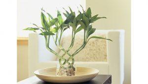 6 توصیه مهم برای نگهداری بامبو plant lucky bamboo 300x171