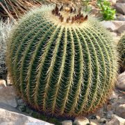 Echinocactus%20grusonii%202  نمایشگاه Echinocactus grusonii 2 180x180