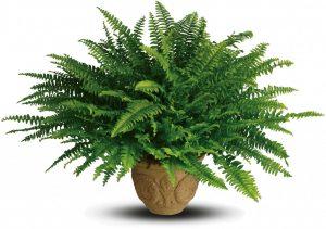 Ferns-plant