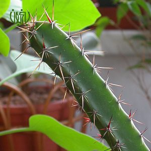 کاکتوس کاکتوس Acanthocereus baxaniensis 1 300x300 کاکتوس کاکتوس Acanthocereus baxaniensis 1 300x300