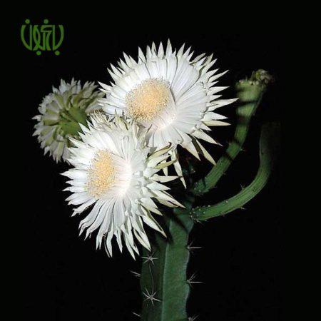 آکانتاسرئوس تتراگانوس- Acanthocereus tetragonus Acanthocereus tetragonus 1 450x450