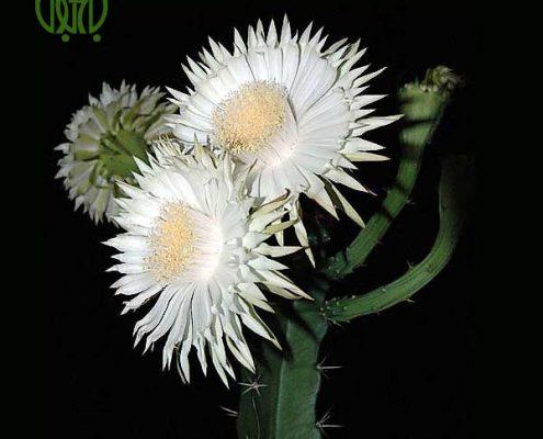 تریکوسرئوس_Trichocereus pachanoi Acanthocereus tetragonus 1 495x400