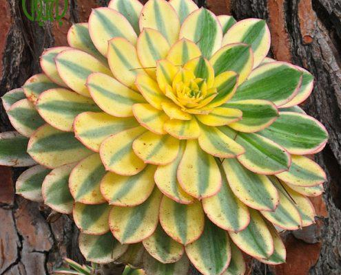 آگاو لیندا – A.Bracteosa Aeonium Sunbrust 4 495x400