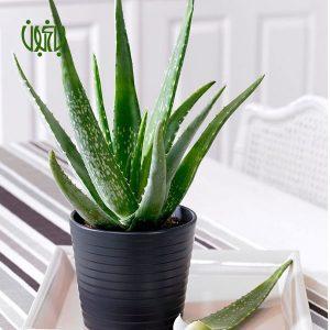 گلخانه گلخانه Aloe vera 3 300x300 گلخانه گلخانه Aloe vera 3 300x300