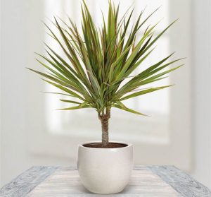 dracaena-plant-indoor  گیاهان تصفیه کننده هوا Dracaena 300x279