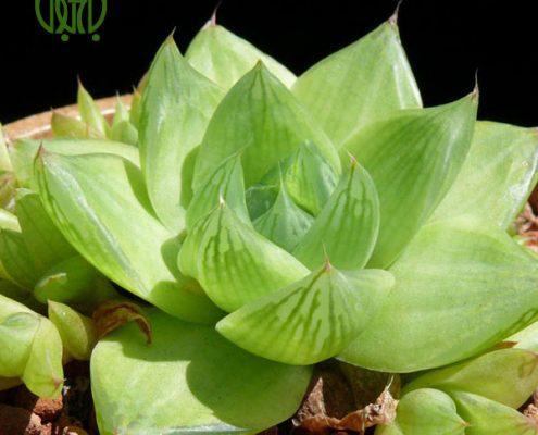 آگاو لیندا – A.Bracteosa Haworthia cuspidata 3 495x400