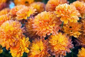 Chrysanthemums-flower  گیاهان تصفیه کننده هوا Orange Mum1 300x200