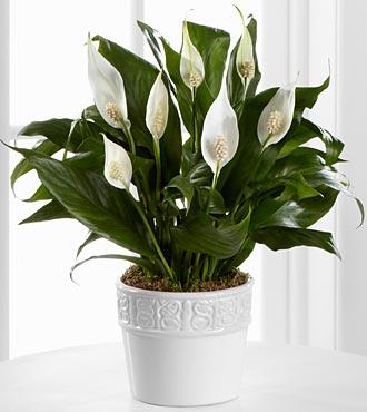 peace-lily-plants  گیاهان تصفیه کننده هوا PeaceLilyPlants