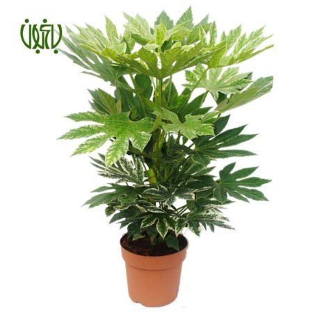 گل و گیاه خانگی گل و گیاه خانگی aralia 4 450x450 گل و گیاه خانگی گل و گیاه خانگی aralia 4 450x450