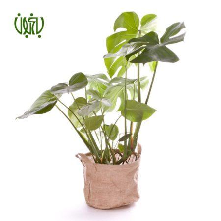 برگ انجیری گل و گیاه خانگی گل و گیاه خانگی barg anjiri 2 450x450 گل و گیاه خانگی گل و گیاه خانگی barg anjiri 2 450x450