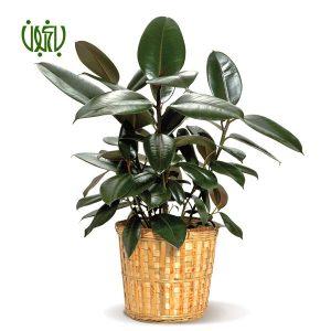گیاه فیکوس الاستیکا  ویژگی های یك بوستان خانگی ficus 4 300x300