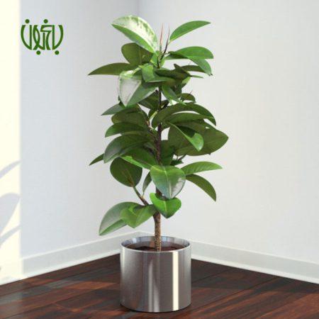 فیکوس الاستیکا فیکوس الاستیکا – Ficus elastica ficus 5 450x450