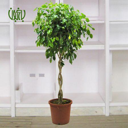 گل و گیاه خانگی گل و گیاه خانگی ficus benjamin 1 450x450 گل و گیاه خانگی گل و گیاه خانگی ficus benjamin 1 450x450