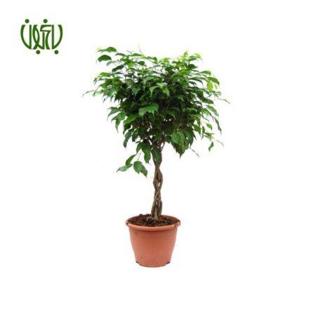 فیکوس بنجامین  –  FICUS TREE ficus benjamin 5 450x450