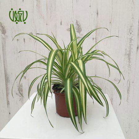گندمی گندمی – Spider Plant gandomi 5 450x450