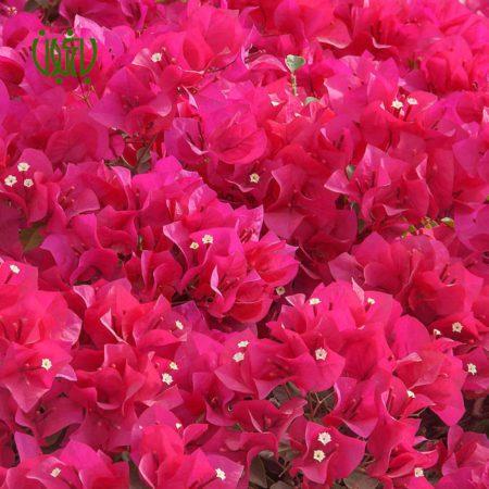 گل کاغذی گل کاغذی – Bougainvillea glabra gole kaghazi 1 450x450