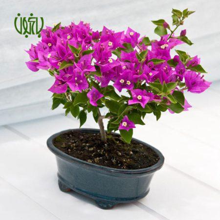 [object object] گل و گیاه خانگی gole kaghazi 2 450x450 [object object] گل و گیاه خانگی gole kaghazi 2 450x450