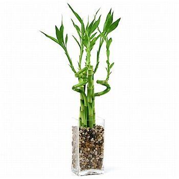 گیاه بامبو  گیاهان تصفیه کننده هوا lucky bamboo