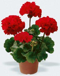 shamdani-5-samelia-60prozent  همه نکته هایی که باید درباره گل ها در زمستان بدانید shamdani 5 Samelia 60Prozent 236x300