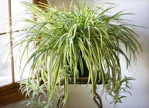 spider-plant  همه نکته هایی که باید درباره گل ها در زمستان بدانید spider plant 300x217
