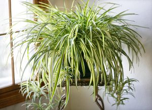 spider-plant  گیاهان تصفیه کننده هوا spider plant 300x217