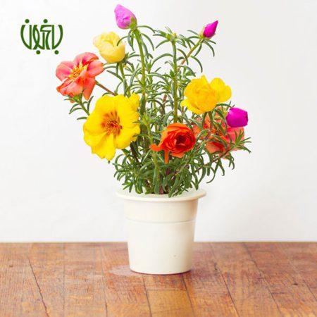گل و گیاه خانگی گل و گیاه خانگی MOSS ROSE 4 450x450 گل و گیاه خانگی گل و گیاه خانگی MOSS ROSE 4 450x450
