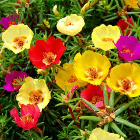 گل ناز آفتابی -MOSS ROSE MOSS ROSE 5 450x450