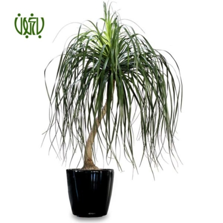لیندا  –  PONYTAIL PALM linda 1 450x450