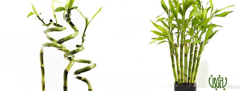 آموزش تصویری تکثیر گیاه بامبو weblog bamboo 1 845x321