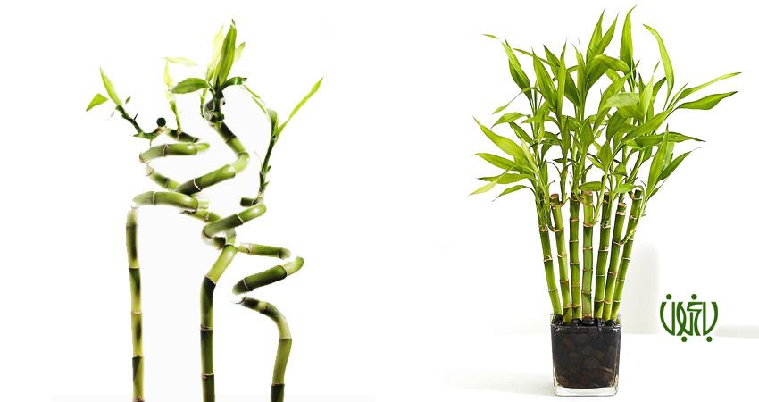 آموزش تصویری تکثیر گیاه بامبو weblog bamboo 1  وبلاگ weblog bamboo 1