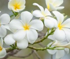 white-plumeria-%da%af%d9%84-%d9%be%d9%84%d9%88%d9%85%d8%b1%db%8c%d8%a7-248x208  گیاهانی که انرژی مثبت را به خانه تان می آورند white plumeria                     248x208