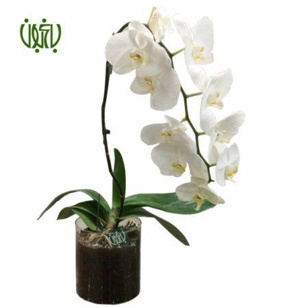 ارکیده فالانوپسیس- Phalaenopsis pulcherrima 1 Orkideh 450x450