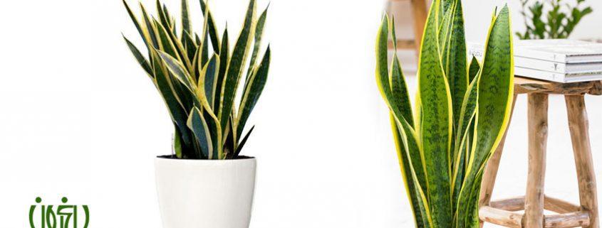 تكثير  گیاه سانسوريا ابلق با روش قلمه برگ sansevieria weblog 1 845x321