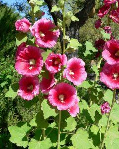 گل های مقاوم به آب و هوای گرم          241x300