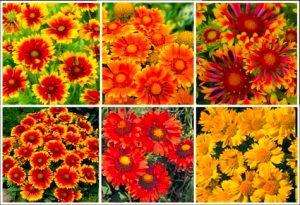گل های مقاوم به آب و هوای گرم          300x205