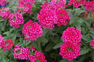 گل های مقاوم به آب و هوای گرم                300x199