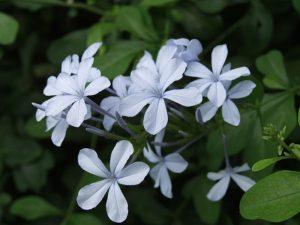 گل های مقاوم به آب و هوای گرم                  300x225
