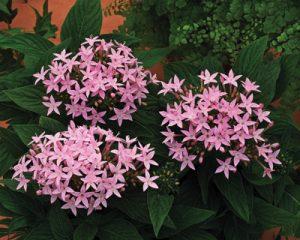 گل های مقاوم به آب و هوای گرم            300x240