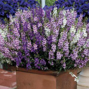 گل های مقاوم به آب و هوای گرم 51032 pk p1 300x300