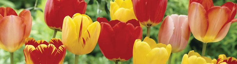 گل لاله  گل های مقاوم به آب و هوای گرم 7362796 orig