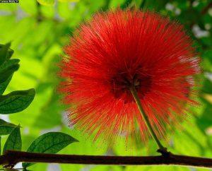گل های مقاوم به آب و هوای گرم Calliandra haematocephala 15 300x242