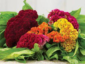 گل های مقاوم به آب و هوای گرم Flower Cockscomb Dwarf Coral Garden Mix IMG 8389 300x225