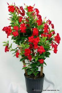 گل های مقاوم به آب و هوای گرم Mandevilla Tropical Dreams Flaming Red 001 200x300