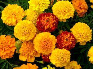 گل های مقاوم به آب و هوای گرم Petite Mix Marigold flowers web fl474 300x225