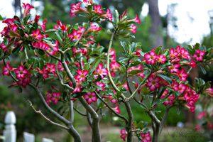 گل های مقاوم به آب و هوای گرم adenium desert rose 544 300x200
