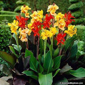 گل های مقاوم به آب و هوای گرم canna mix1 300x300