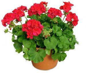 گل های مقاوم به آب و هوای گرم geranium 10 in prem 300x254