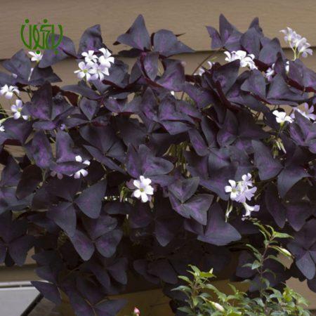 گیاه اکسالیس  اکسالیس، ترشک ، گل عشق – oxalis regnellii oxalis 1 450x450